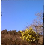 Mimosa en fleurs sur fond de ciel bleu